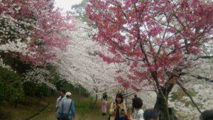 金比羅の桜